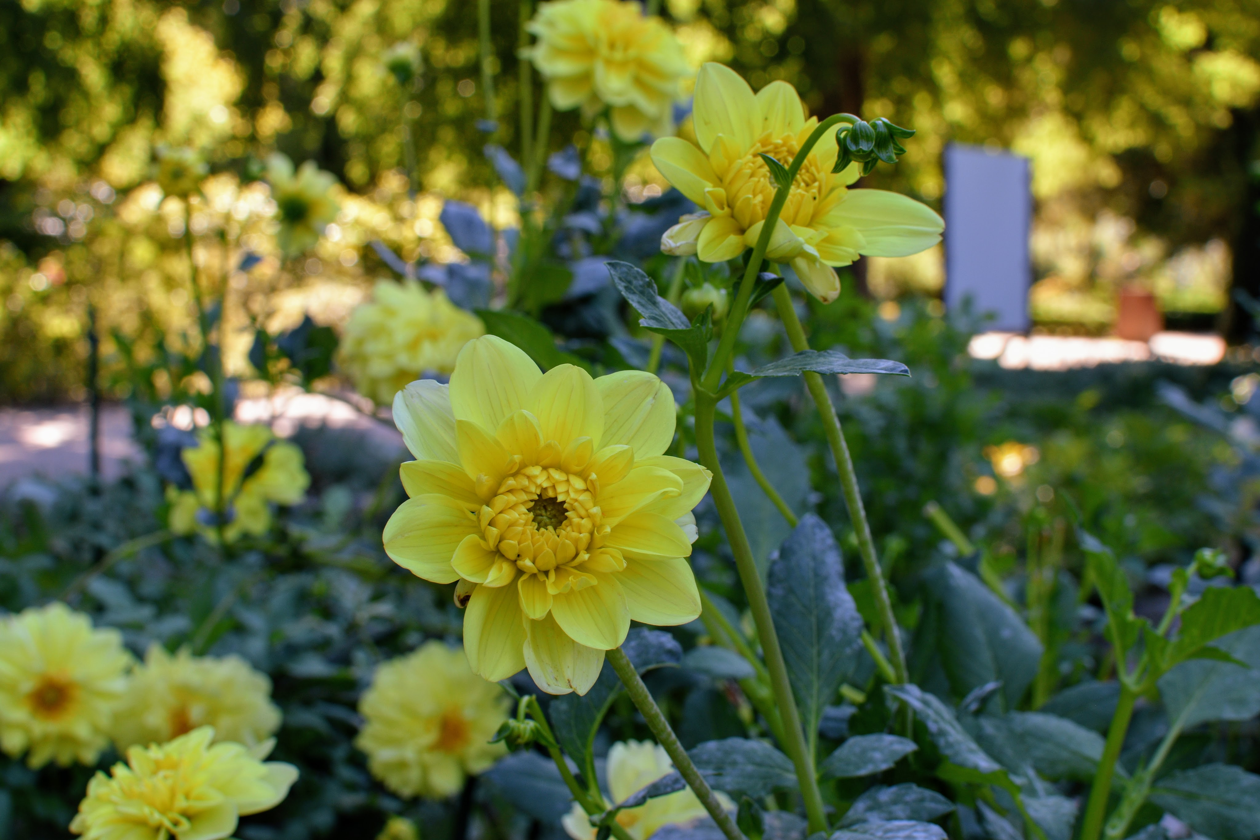 yellow flowers in gardens